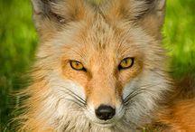 Kitsune (Fox)