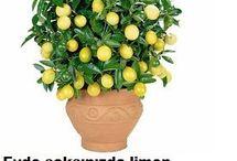 limon yetiştirme