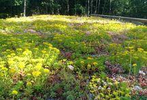 kattopuutarha / kansipihan kasvillisuus