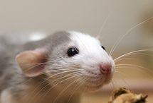 myszy, szczurzynki i inne gryzonie