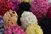 Hyacinths by DutchGrown