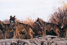 Lobo Ibérico (Canis Lupus Signatus) / El lobo ibérico (Canis lupus signatus) es una subespecie de lobo (Canis lupus) endémica de la península ibérica.