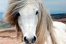 Icelandic Horses / by Steffi Jaenicke