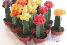 ingerto de cactus