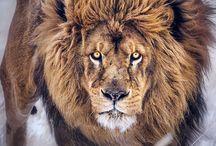 Leijonat