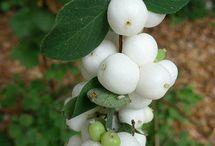 Native Plants / Vancouver Island Native Plant Species