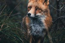 Foxes/Лисы