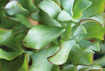 Viherkasveja / Anopinkieli, muorinkukka, rahapuu, hopeaköynnös - tutustu,  ihastu ja raikasta kotisi viherkasveilla!