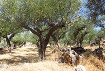 Kalamata / Paysages d'oliviers