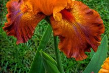 """""""Bearded Ladies"""" / Beautiful Irises of all Colors / by Dianna Williams"""