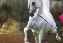 Omani Princess: Arabian Horses