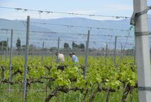 vineyards / we produce wine you can drink in our agritourism in Spello, Umbria - Italy