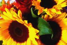 ♥Fam♥  Sara's Sunflowers /  The sunflower is named after its huge, fiery blooms, whose shape and image is often used to depict the sun. It has a rough, hairy stem, broad, coarsely toothed, rough leaves and circular heads of flowers.