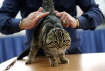 Scottish Fold Cat / Scottish Fold Cats