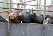 Lakenvelders op landgoed Mariënwaerdt / In april mochten de Lakenvelders naar een lange periode in de stal eindelijk de wei weer in!