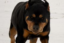is this really a rottie? not to my eyes
