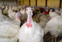 Birds of a Feather / by Minnesota Turkey Growers Association