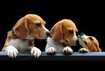 My favorite Beagles / Minha doce paixão