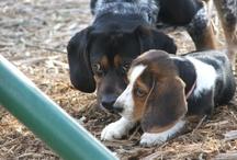 beagles / by Robin Quattlebaum