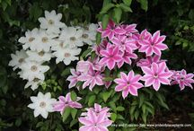 Clematis Combinations bloom at the same time