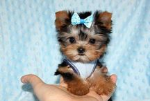 kicsi kutyak lovee