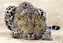 леопард на конкурс