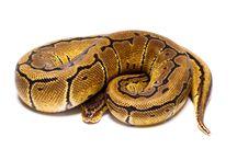 For sale Python Regius 2017 / For sale Python Regius 2017- born in Regius Essence  www.regiusessence.com