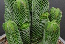 Plantas crasas