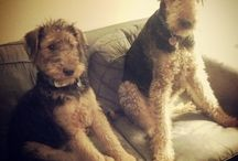 I heart Airedale Terriers / Favorite breed, Teddy Bear Pups,  Fuzzy snugglers; loyal, protrectors,