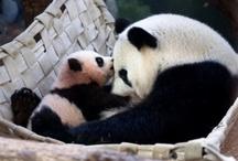 panda.love