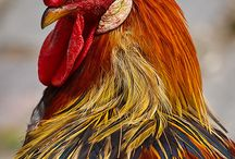 Gallo guardián