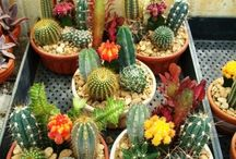Cactus variedad