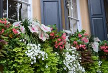 Window boxes / Charlestonians maintain wonderful window boxes year round.