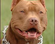 American Rednose Pitbulls...I Love these dogs#had one#want another.