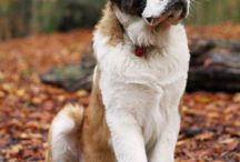 Saint Bernard / My favorite dog