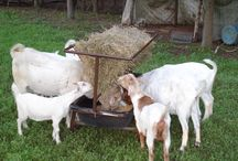Goats, Sheep, and Hogs / All the equipment you need for your goat, sheep, or hog. Priefert.com  / by Priefert MFG