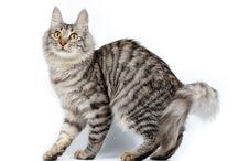 Turkish Angora / Turkish Angora cat breed