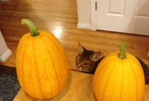 Pumpkin Cat / Cedar Cat always likes to have his own pumpkin to carve for Halloween…