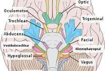 Neuroanatomia-Ilustração