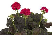 2016 AAS Flower Winners / Announcing our 2016 All-America Selections Flower winners. These winners have been tested across the country by our AAS judges and found to be superior for the garden.  Look for these winners are your local garden retailer or mail order seed company. / by National Garden Bureau