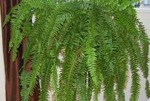 ferns / Ferns. They are beautiful.  In the garden, as well as in our homes. www.woodendeckle.com