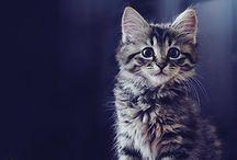Τιγρέ γάτες