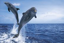 Beautiful Dolphins / Dolphins are both intelligent and beautiful, to help protect these dolphins join www.afd.org.au