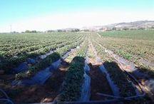 Proyecto Frutillas WMS (Web Map Service) / Lo que plantea este proyecto es establecer nuevas o mejores posibilidades de captación y almacenamiento de agua, y determinar mejoras en el manejo del riego que les permitan a los frutilleros de Melipilla tener mayor rentabilidad del cultivo. Más Información en : http://www.ciren.cl/web/proyect.php?nSw=1&i=49