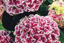 Άνθη-ορτανσία