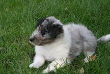 Dave / Onze nieuwe hond. Van pup naar puber. Hij is nu 1 jaar en 7 maanden.  Dave is een kruising Gos d'Atura moeder en blue merle schotse collie vader. De jongste van het nest. Twee broers die zwart wit zijn en twee zussen die ook blue merle zijn.