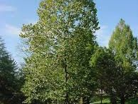 Trees / Tresss