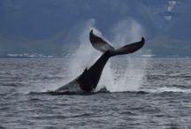 http://www.elblogdeviajes.com/wp-content/uploads/2017/09/ver-ballenas-islandia-300x200.jpg Cómo ver ballenas en Islandia