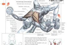 Muscle anatomy - Chest