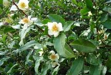 Camellia sinensis / The Botanical Tea Plant.